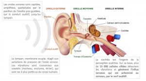 Le système de transmission des sons, système auditif